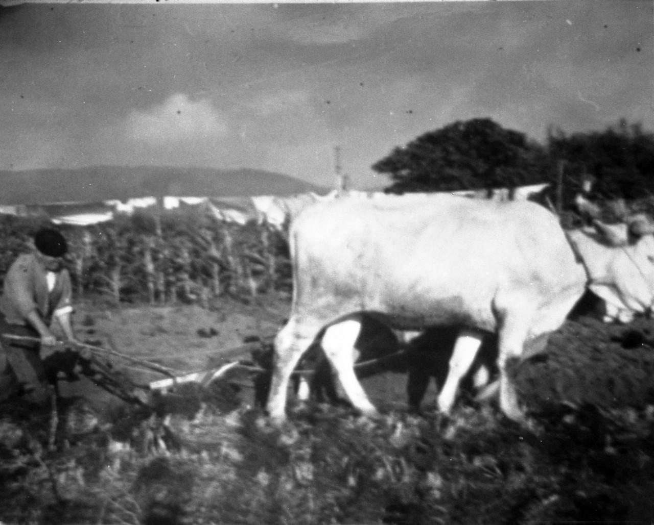 arado-con-vacas